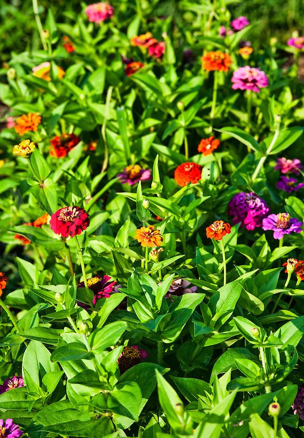 Zinnia flowers in bloom, Asteraceae
