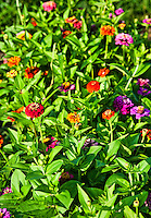 Zinnia flowers in bloom, Asteraceae
