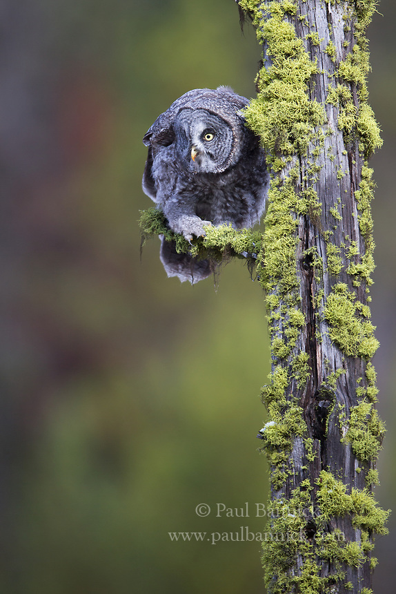 A juvenile Great Gray Owl watches the ground below for potential prey.