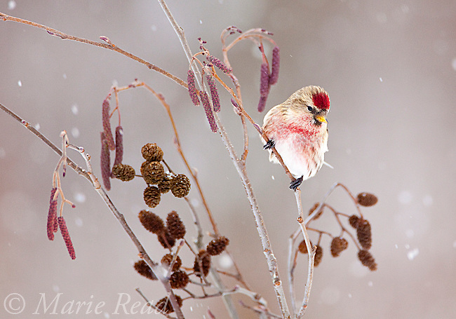 Common Redpoll (Carduelis flammea), male perched in alder (Alnus rugosa) during a snowstorm in winter, New York, USA