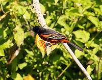 Adult male orchard oriole feeding at orange