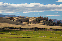 Sheep grazing on farmland , near Omakau, Central Otago, South Island, New Zealand - stock photo, canvas, fine art print