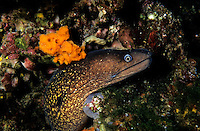 Moray Eel (Muraena helena) curiously pokes its head out of a rock, Corsica, France.