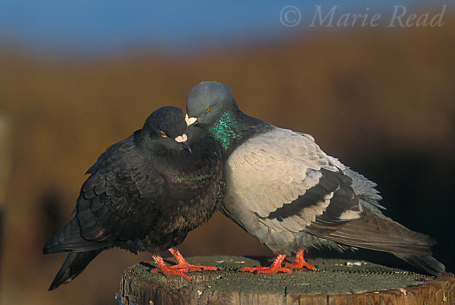 Rock Pigeon (Columba livia), pair performing courtship preening (=allopreening), Bolsa Chica Ecological Reserve, California, USA