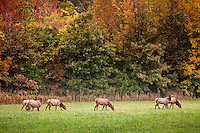 Arkansas cow elk grazing at Steel Creek campground on the Buffalo National River in the fall during the rut or mating season.