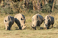 Four white rhinoceroses (Ceratotherium simum) feeding, Lake Nakuru National Park, Kenya, Africa