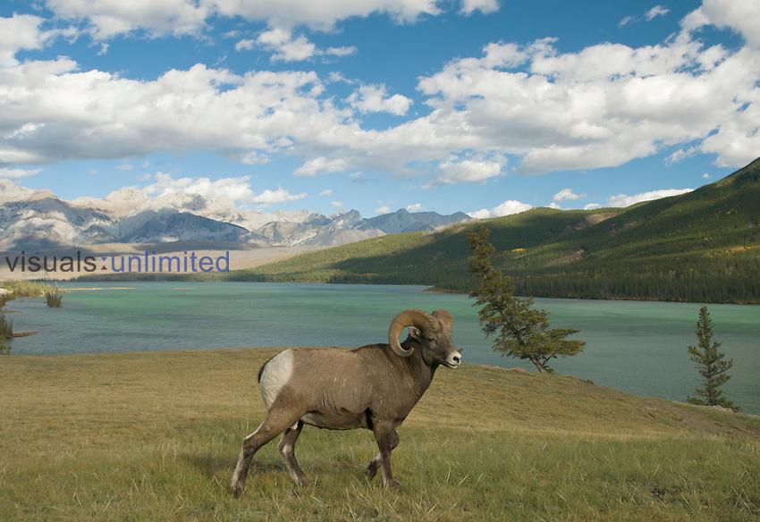 Rocky Mountain Bighorn Sheep (Ovis canadensis), Jasper National Park, Alberta, Canada