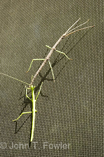 Walkingsticks on window screen