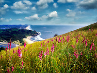 View from Cascade Head with foxglove. Oregon