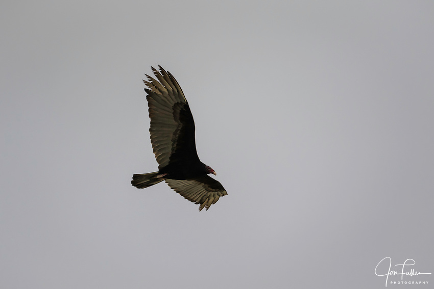 A  Turkey Vulture, Cathartes aura, soaring over the Ria Lagartos Biosphere Reserve, a UNESCO World Biosphere Reserve in Yucatan, Mexico.
