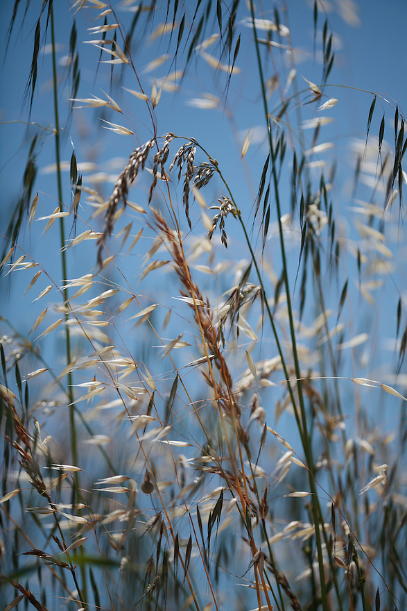 Mixed grasses forming grass meadow including Oat grass, Avena sp., and false oat grass, Arrhematherum elatius.<br /> Lagadin region. Lake Ohrid (693m).<br /> Galicica National Park, Macedonia, June 2009<br /> Mission: Macedonia, Lake Macro Prespa /  Lake Ohrid, Transnational Park<br /> David Maitland / Wild Wonders of Europe
