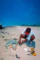 biologist injects PIT ( Passive Integrated Transponder ) tag into Kemp's ridley sea turtle; Lepidochelys kempii, rice grain-sized tag emits i.d. number when scanned, Rancho Nuevo, Mexico, Gulf of Mexico, Caribbean Sea, Atlantic Ocean