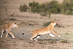 A FAWN IN IT'S MOUTH:  A lioness carries a young Thomson's gazelle in it's mouth effortlessly.<br /> <br /> The lion caught the young gazelle in the morning as they roamed through the grass savannah of the Masai Mara in Kenya.<br /> <br /> Photographer Ingo Gerlach, 66 from Germany said' I spotted movement out the corner of my eye and five meters away from the vehicle I was in I saw a young Thomson's gazellle hurtling towards the lion herd.'<br /> <br /> Obviously, the gazelle was not aware of the danger it was in at that moment as a lion mother sprinted forward towards the gazelle fawn grabbing the whole of it's body in her mouth.'<br /> <br /> After carrying the gazelle away she finally put it down in front of her where it stayed for a while.  Sadly after around 30 minutes, with the fawn too frightened and possibly injured from the ordeal the lion killed it and ate it.<br /> <br /> Please byline: Ingo Gerlach/Solent News<br /> <br /> © Ingo Gerlach/Solent News & Photo Agency<br /> UK +44 (0) 2380 458800