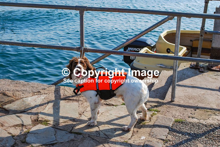 Ready for a day's sailing a dog, complete with life jacket, waits on the quayside at Strangford, Co Down, N Ireland, UK, 200809271501..Copyright Image from Victor Patterson, 54 Dorchester Park, Belfast, UK, BT9 6RJ..Tel: +44 28 9066 1296.Mob: +44 7802 353836.Voicemail +44 20 8816 7153.Skype: victorpattersonbelfast.Email: victorpatterson@mac.com.Email: victorpatterson@ireland.com (back-up)..IMPORTANT: If you wish to use this image or any other of my images please go to www.victorpatterson.com and click on the Terms & Conditions. Then contact me by email or phone with the reference number(s) of the image(s) concerned.