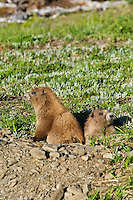 Olympic Marmots (Marmota olympus) at mouth of burrow in alpine area of Olympic Mountains, Olympic National Park, Washington.  Summer.