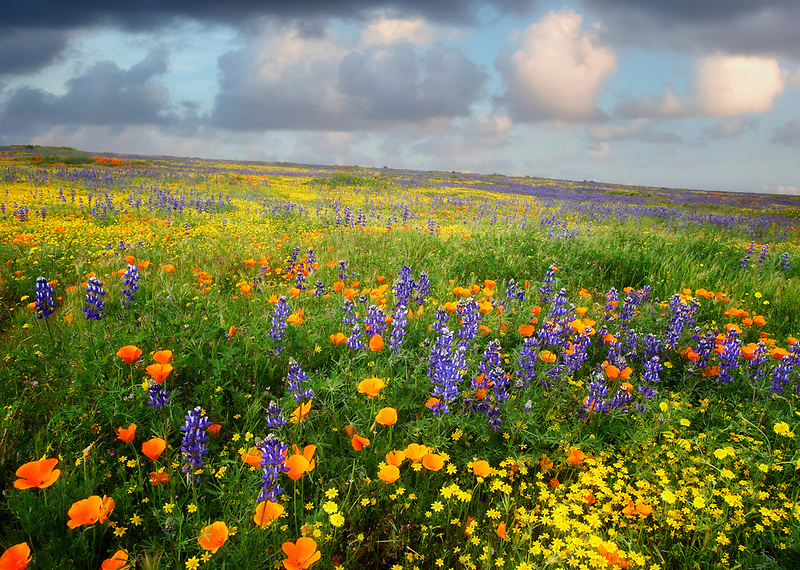 Mostly lupine and poppies on slope in Carrizo Plain National Monument, California