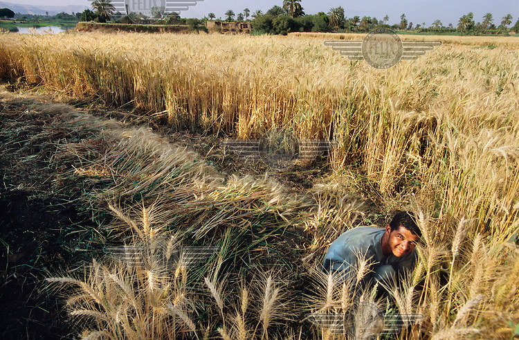 Farmer harvesting wheat.  His land is irrigated with water from the River Nile.