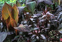 Purple foliage garden, Canna, Lobelia, Oxalis, with orange highlighted Canna plant