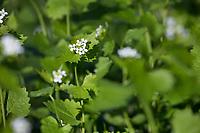 Knoblauchsrauke, Gewöhnliche Knoblauchsrauke, Knoblauchrauke, Knoblauch-Rauke, Knoblauchs-Rauke, Lauchkraut, Knoblauchskraut, Knoblauchhederich, Knoblauchshederich, Alliaria petiolata, Hedge Garlic, Jack-by-the-Hedge, Garlic Mustard, garlic root, Alliaire, L'Alliaire officinale, Herbe à ail