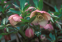 Hellebore Pamina single flowered hyrbid pink and cream flowers and buds with foliage leaves