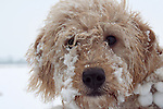 Face of a Labradoodle puppy playing in snow
