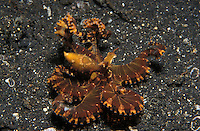 lq8323. Wonderpus octopus (Wunderpus photogenicus). Indonesia, tropical Indo-Pacific oceans..Photo Copyright © Brandon Cole. All rights reserved worldwide.  www.brandoncole.com.This photo is NOT free. It is NOT in the public domain. This photo is a Copyrighted Work, registered with the US Copyright Office. .Rights to reproduction of photograph granted only upon payment in full of agreed upon licensing fee. Any use of this photo prior to such payment is an infringement of copyright and punishable by fines up to  $150,000 USD.