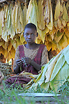 A girl in Luwerzi works stringing together tobacco leaves which are then hung to dry. The cash crop is a key element of the rural economy in Malawi.