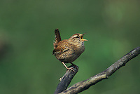 Winter Wren, Troglodytes troglodytes,male singing, Lachen, Switzerland, April 1995