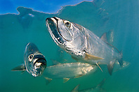 Atlantic tarpons, Megalops atlanticus, grow up to 2 m (6.6 ft) in length and could weigh 160 kg (350 lb), Islamorada, Florida Keys National Marine Sanctuary, USA, Atlantic Ocean
