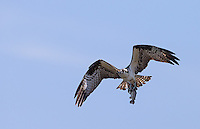 We were fortunate to see a few osprey catching fish near the road.