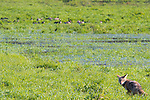 A coyote is sitting in the grass looking a geese off in distance and turning back towards viewer at the Ridgefield National Wildlife Refuge