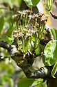 'Conference' pear fruitlets beginning to form as blossom falls, late April.