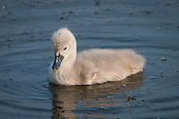 Mute Swan {Cygnus olor} Cygnet at Elmley Marshes, Isle of Sheppey, Kent