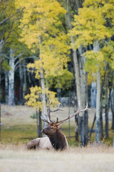 Elk, Wapiti, Cervus elaphus, bull calling, bugling, with aspentrees with fallcolors, Rocky Mountain National Park, Colorado, USA, September 2006