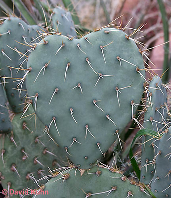 1202-0856  Wheel Pear Cactus (Silver Dollar Cactus), Details of Pad and Spines, Opuntia robusta  © David Kuhn/Dwight Kuhn Photography