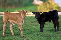 Free-range male calves at Sheepdrove Organic Farm, Lambourn, England