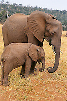 African elephant (Loxodonta africana) cow with young calf.  Matusadona National Park, Zimbabwe.