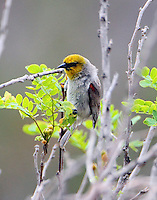Adult male verdin