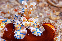 Harlequin shrimp, Hymenocera picta, moving a leg of a red sea star back to it's hole over the sand, Koh Ha, Andaman sea, Indian Ocean, Thailand, Asia