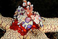 Hymenocera elegans auf Fromia monilis, Harlekingarnele fressend auf Halsketten-Seestern, Harlequin Shrimp feeding on Necklace Sea Star,  Tulamben, Bali, Indonesien, Indopazifik, Indonesia, Asien, Indo-Pacific Ocean, Asia