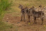 Waterbuck (Kobus ellipsiprymnus) calves, Kruger National Park, South Africa