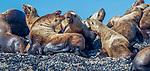 USA, Alaska, Glacier Bay National Park , Steller sea lion (Eumetopias jubatus)