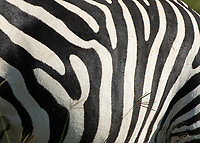 Close-up of the stripes of a Grant's Zebra, Equus quagga boehmi, in Lake Nakuru National Park, Kenya