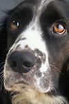 Springer spaniel puppy.