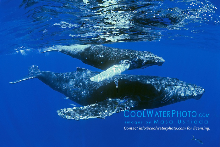 humpback whales, Megaptera novaeangliae, mother and calf with rainbow runners, Elagatis bipinnulatus, Hawaii, USA, Pacific Ocean