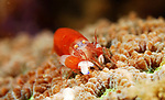 Unknown Coral Shrimp; Lembeh Straits; Sulawesi Sea; Indonesia; Amazing Underwater Photography