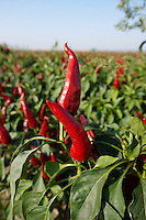 Capsicum annuum or chili peppers being grown to make Hungarian paprika - Kalocsa Hungary
