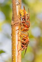 Hornets (vespa crabro) stripping bark from birch sapling and drinking sap. Surrey, UK.