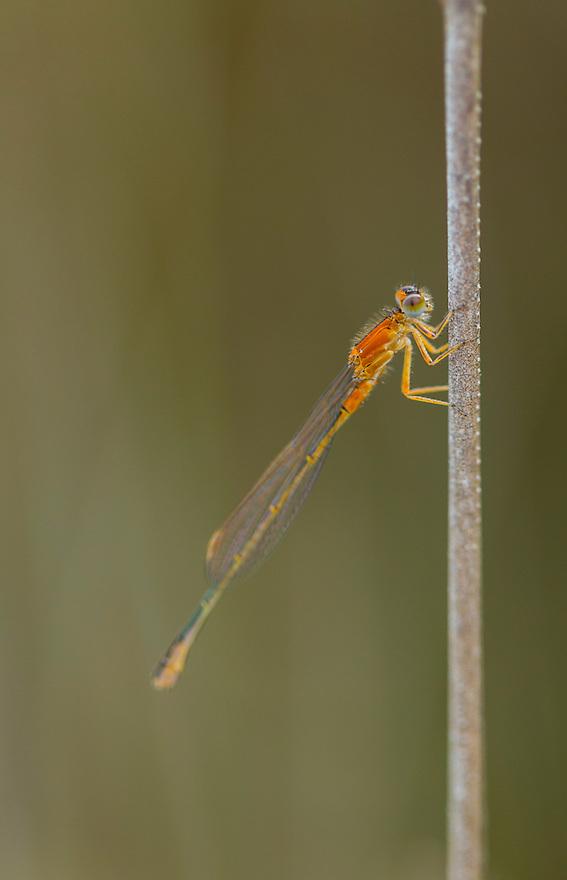 DRAGONFLY Ischnura pumilio, Campanarios de Azaba Biological Reserve, Salamanca, Castilla y Leon, Spain, Europe