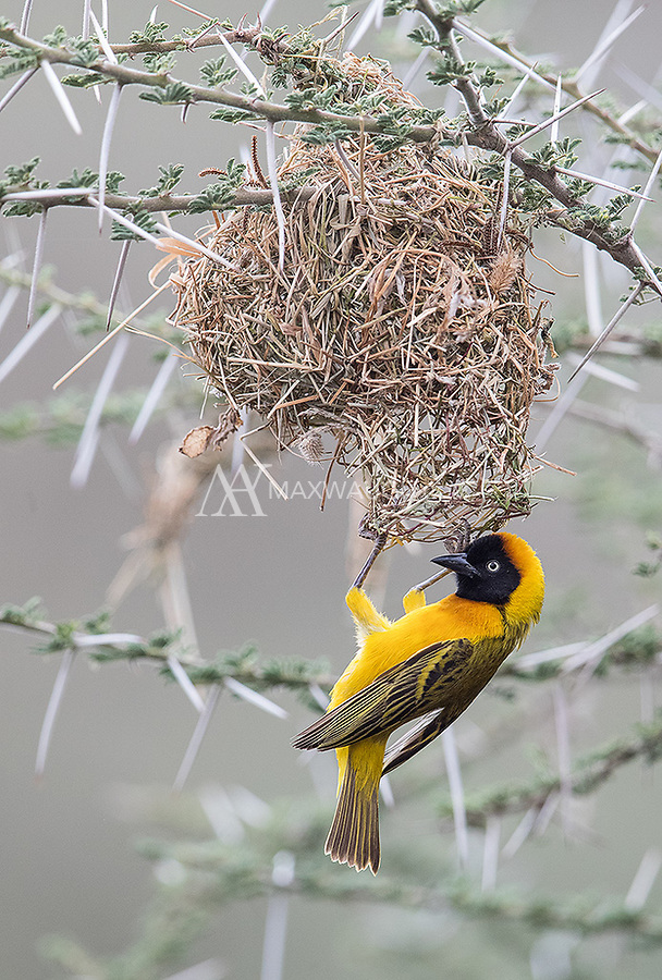 We had a great view of masked weavers building their nests at our Ndutu camp.